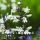 宿根草苗 ペンステモン ハスカーレッド 草丈の高い 9cmロングポット 10月中下旬より順次発送