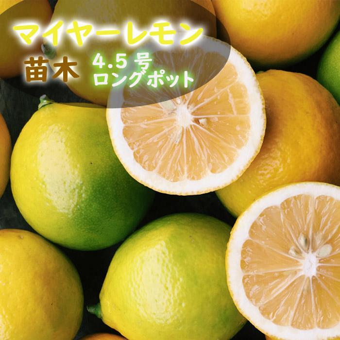 送料無料 レモン苗木 マイヤーレモン 4.5号ロングポット 柑橘 苗 10月上中旬より順次発送