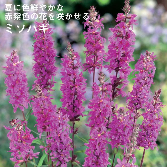予約商品 宿根草苗 ミソハギ 草丈の高い 9cmロングポット 10月中下旬より順次発送