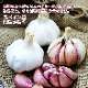 予約商品 野菜苗 紫にんにく3芽植え 9cmポット 10月中下旬より順次発送 予約注文でポイント5倍