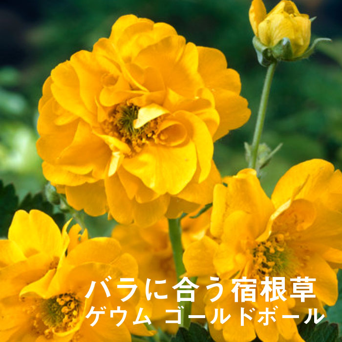 予約商品 宿根草苗 ゲウム ゴールドボール バラに合う 9cmロングポット 10月中下旬より順次発送