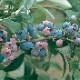 果樹苗 ラビットアイ系ブルーベリー ウッダード 12cmポット