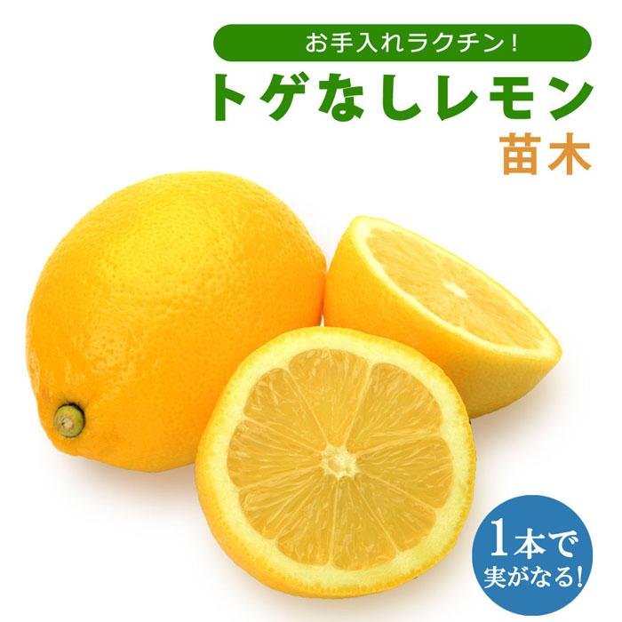 予約商品 送料無料 レモン苗木 トゲなしレモン ビアフランカ 15cmポット 接木 柑橘 苗木 9月下旬より順次発送