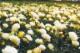 送料無料 ドリフトローズ苗3種セット 【レッドドリフト1個+ピーチドリフト(登録品種)1個+ポップコーンドリフト1個=合計3個】 9cmポット苗 育てやすいガーデンミニバラ