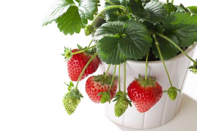 【予約商品】10月中下旬より順次発送 イチゴ苗 なるなる四季成りイチゴ セリーヌ 10.5cmポット 予約注文でポイント5倍