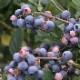 果樹苗 大実サザンハイブッシュ系ブルーベリー レノア 12cmポット