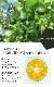 予約商品 送料無料 沖縄みかん 苗木 シークワーサー 接木 柑橘苗 15cmポット 9月中下旬より順次発送