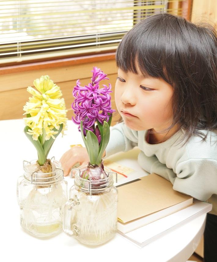 【予約商品】ヒヤシンス水栽培セット ドリンキングジャー仕様 きいろ 黄色 イエロー 水耕栽培キット 10月中下旬より順次発送