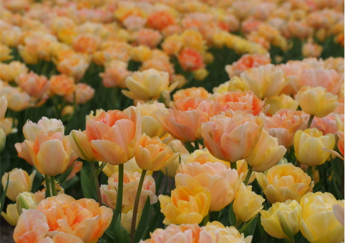 球根 あふれるように花が咲く八重咲きチューリップ チャーミングビューティ 4球 10月中旬頃より順次発送