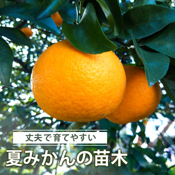 送料無料 ミカン 苗木 夏みかん 夏代々 接木 柑橘苗 15cmポット