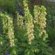 宿根草苗 ジギタリス アンビグア 草丈の高い 9cmロングポット 10月中下旬より順次発送
