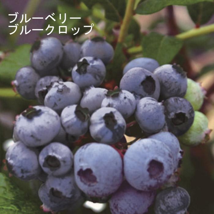 予約商品 果樹苗 ハイブッシュ系ブルーベリー ブルークロップ 12cmポット 9月中下旬より順次発送
