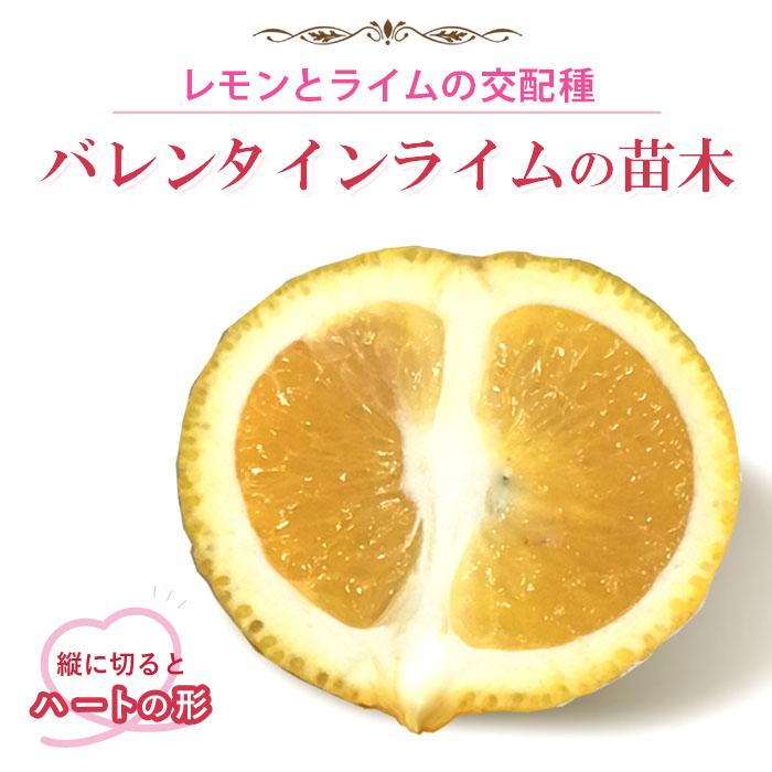 送料無料 バレンタインライム ライム 苗木 15cmポット 接木柑橘苗木