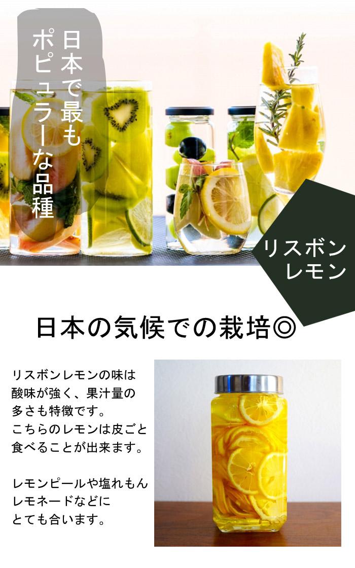 送料無料 レモン苗木 リスボンレモン 4.5号ロングポット 柑橘苗 10月上中旬より順次発送