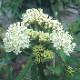 予約商品 宿根草苗 アスクレピアス アイスバレット 草丈の高い 9cmロングポット 10月中下旬より順次発送