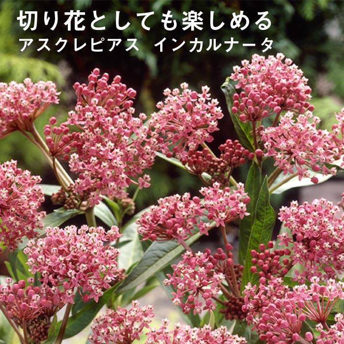 宿根草苗 アスクレピアス インカルナータ 草丈の高い 9cmロングポット 10月中下旬より順次発送