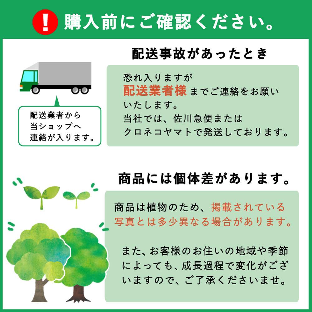 予約商品 送料無料 ライム苗木 タヒチライム 15cmポット 接木柑橘苗 9月中下旬より順次発送