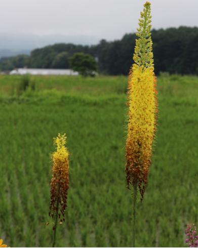 予約商品 球根 エレムルス キャンドルリリー 黄花種 1球 10月中下旬頃より順次発送