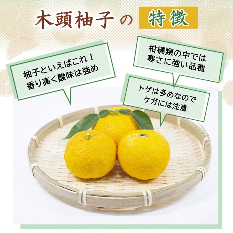 ゆず 苗木 木頭柚子 本柚子 15cmポット 接木柑橘苗