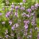 宿根草苗 バーベナ バンプトン 草丈の高い 9cmロングポット 10月中下旬より順次発送