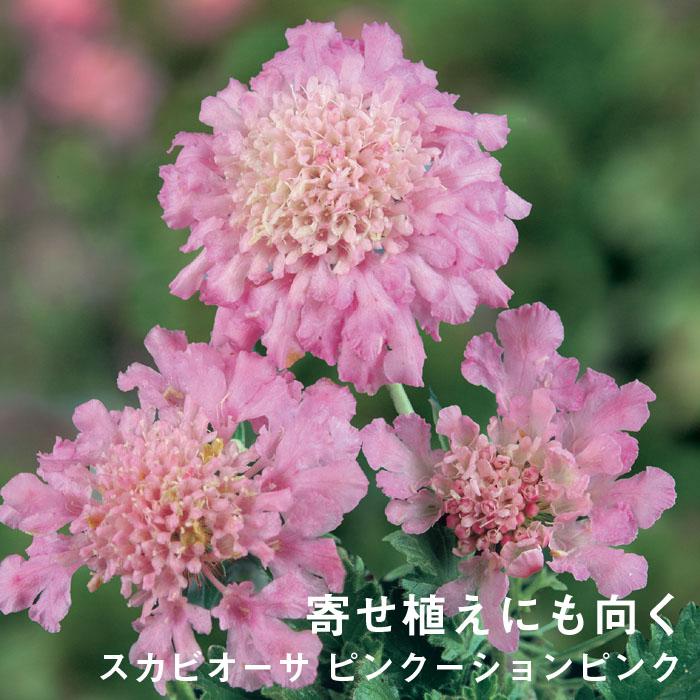 予約商品 宿根草苗 スカビオーサ ピンクーションピンク バラに合う 9cmロングポット 10月中下旬より順次発送