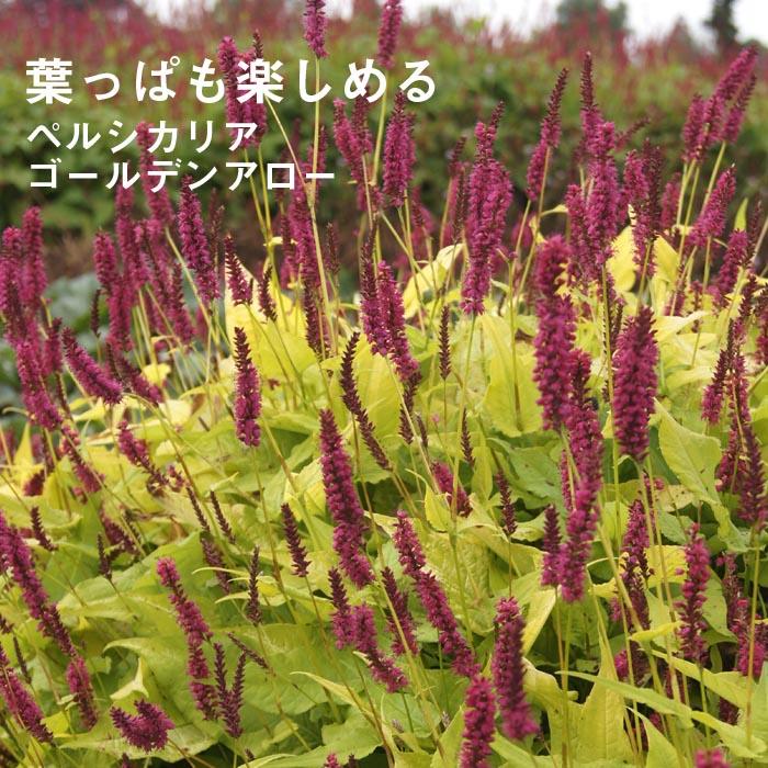 宿根草苗 ペルシカリア ゴールデンアロー 草丈の高い 9cmロングポット 10月中下旬より順次発送