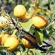 【爽やかでフレッシュな香り】自然栽培レモン 1kg