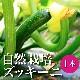 【夏の定番♪】自然栽培ズッキーニ 1本