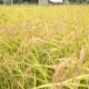 かかしの夢 自然栽培コシヒカリ 5kg / 2kg  白米/玄米