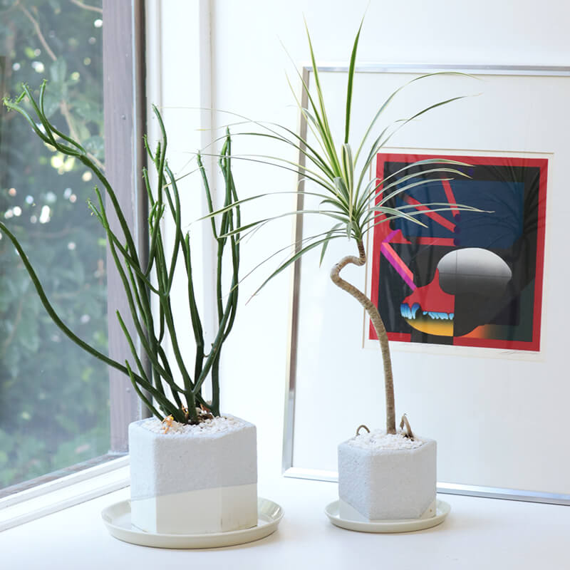 magonia 植木鉢 スモール