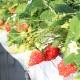 【送料込】アキヒロイチゴ園のやよいひめ【代引・同梱不可/配送地域限定】