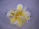 アロハ プリメリア ヘアクリップ 約10センチ