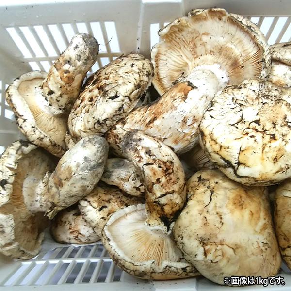 北米産松茸500g