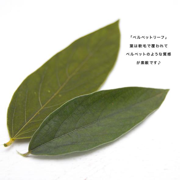 ベルベットリーフ(プリザーブドフラワー) 小分け花材No.42