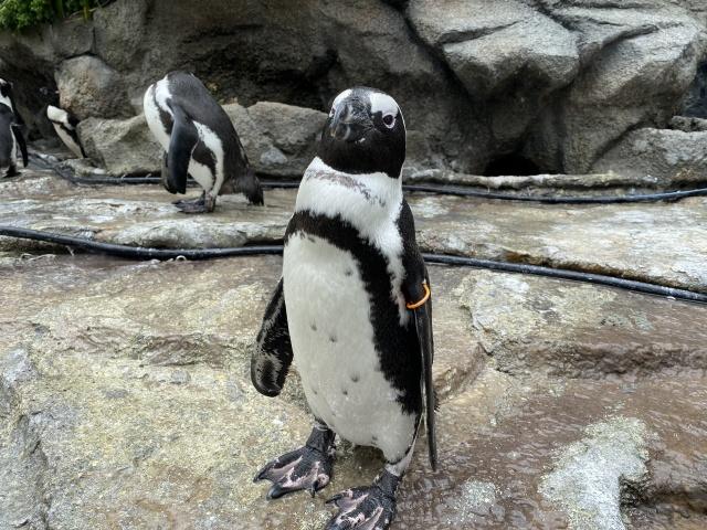 【いきもーる限定販売】いきものマスク ケープペンギン 茶色タグ