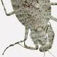擬態クリアファイル キノハダカマキリ