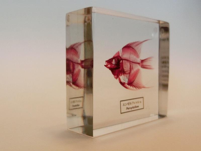 樹脂透明骨格標本 エンゼルフィッシュ