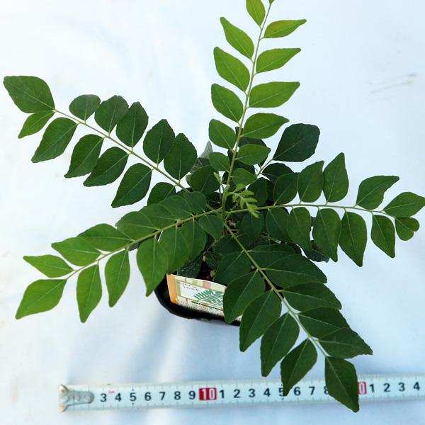 「カレーリーフの苗木 9cmポット苗 1個売り」希少なカレーリーフの苗が入荷しました!葉を乾燥すると香りが飛んでしまいます。風味を楽しむためには、自分で育てて、新鮮な葉をカレーに入れるのが一番!通年植付け可能!ミカン科ゲッキツ属の常緑樹!