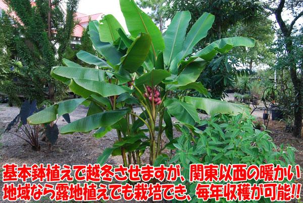 「アケビバナナ(耐寒性バナナ)の苗木 10.5cmポット苗 1個売り」珍しいピンクの花と実のバナナで、魅力は、耐寒性が強いこと!毎年収穫が可能です。丈夫で育てやすく、植え付け後1年くらいで結実します。自社農場から新鮮出荷!!