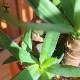 【送料無料】ユッカ (青年の木) 観葉植物【観葉植物 大型 8号 Lサイズ プラスチック鉢  /1個売り】観葉植物 リビング オフィス 事務所 インテリア 大型 おしゃれ 育てやすい お祝い 新築祝い プレゼント 緑のある暮らし green ガーデニング