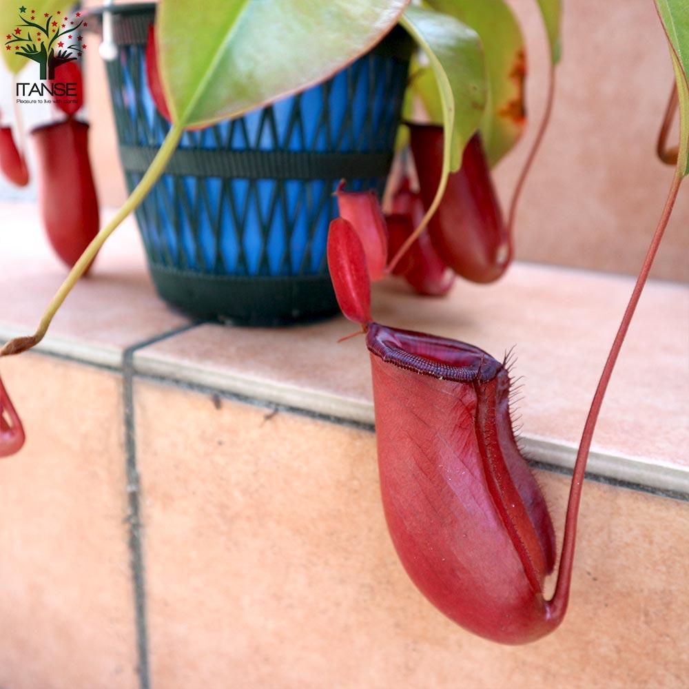 【送料無料】食虫植物 ネペンテス レディラック【観葉植物 5号吊り鉢  /1個売り】ハエトリソウ ネペンテス 虫取り ウツボカズラ 観葉植物 リビング オフィス 事務所 インテリア