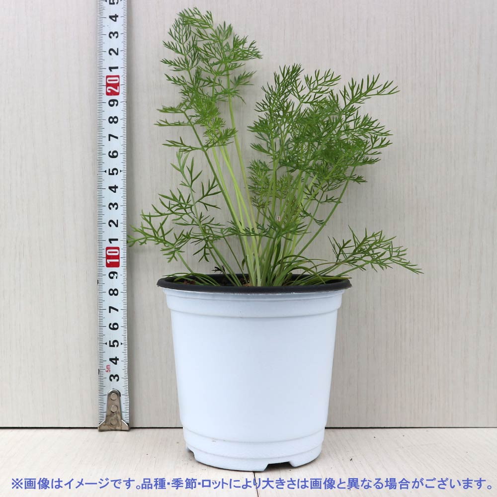 【送料無料】フェンネル 【ハーブの苗 10.5cm  /お買い得4個セット】【おうちで簡単!育てやすい10.5cmポットハーブ苗シリーズ!】根張り・大きさ・選別が良いので、育てやすい!初心者にもオススメのハーブシリーズです!ガーデニングや家庭菜園に!