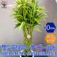 【送料無料】サンデリアーナゴールド ドラセナ・サンデリアーナ ゴールド(ラッキーバンブー) 【観葉植物 大型 10号プラスチック鉢  /1個売り】観葉植物 リビング オフィス 事務所 インテリア 大型