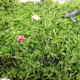 【送料無料】天然苔 フィギュア3個(ランダム)付きです。※苔の種類は選べません【観葉植物 Mサイズ トレー入り(トレー外寸:290×390mm)  /1個売り】苔 コケ トレー入り コケリウム 苔ジオラマ 苔テラリウム 山苔 ヤマゴケ ハイゴケ
