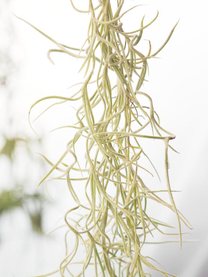 ウスネオイデス太葉Rサイズ(良い状態です) エアプランツ【長さ約40cm 幅約8cm重さ約26g(送料無料)】