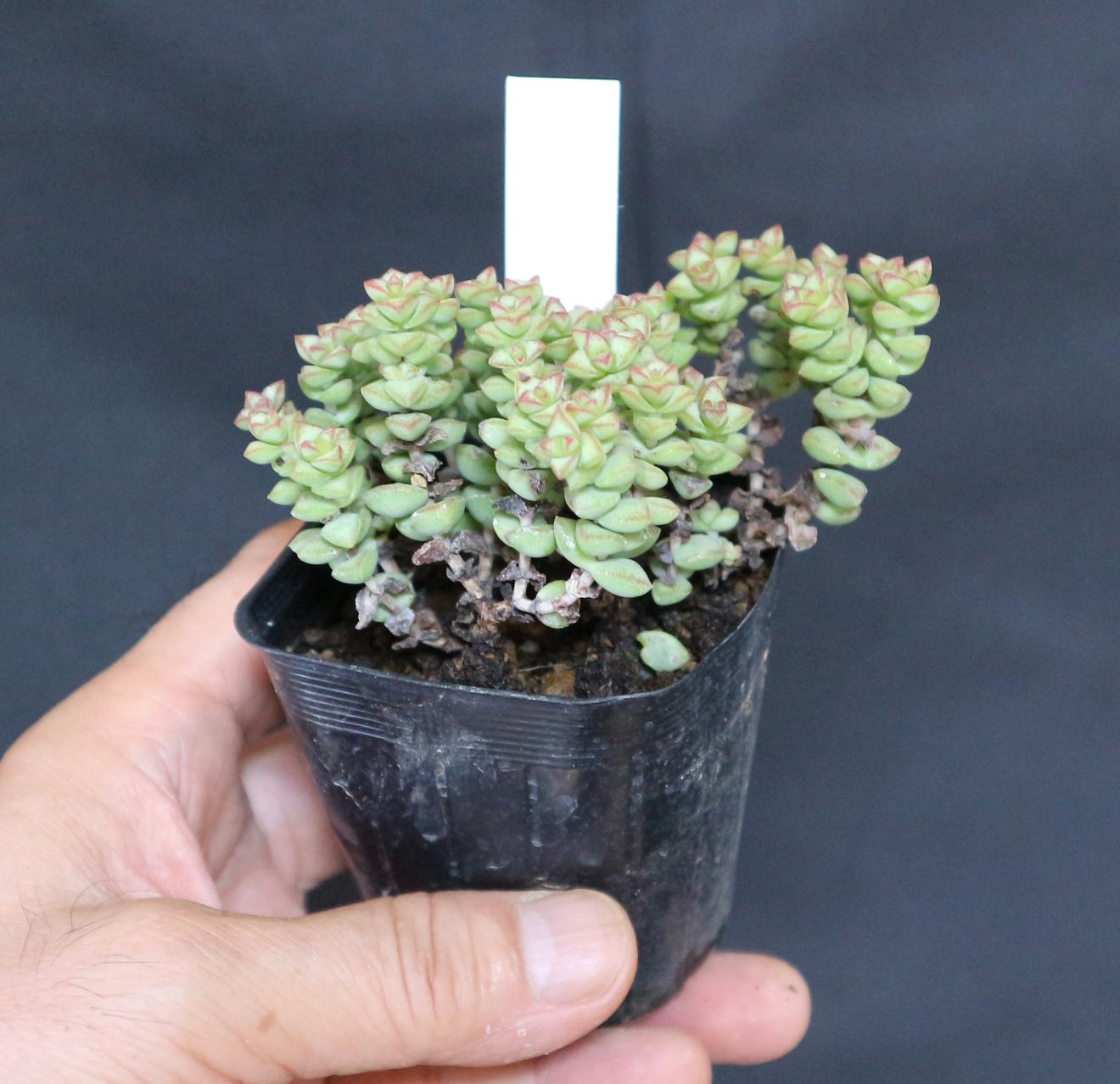 """""""小米星""""多肉植物7.5cmポット【2個セット】【送料無料】【寄植にも単体植えにも使いやすいサイズ】"""