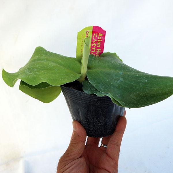 「バンウコン ケンフェリア・ガランガの苗(カチュールスガンディ) 10.5cmポット苗 1個売り」インド原産のハーブ、バンウコンはインド原産の多年草で、地面に張り付くように葉を広げ、その中心部に白い可憐な花を咲かせます。全体に生姜に似た芳香と辛みがあります。