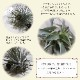 【送料無料】エアープランツ チランジア カクティコラ ブライトリーフ Rサイズ【幅約20cm×高さ約10cm Rサイズ/1個】T.Cacticola Bright Leaf ティランジア エアプランツ 土がいらない 観葉植物 人気 おしゃれ インテリア