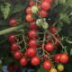 【送料無料・即出荷】極甘ピッコラルージュ からみつく甘み! ミニトマトの苗【野菜の苗 10.5cmポット  自根苗/お買い得4個セット】トマト苗 とまと苗 ミニトマト苗 トマトの苗 とまとの苗 プチトマト ガーデニング 家庭菜園  プランター菜園 ベランダ菜園