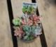 多肉寄植「バクダン多肉 7.5cmポット」人気3POTセット(送料無料)【即納】